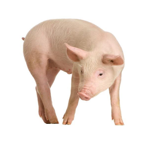 свинья PNG фото