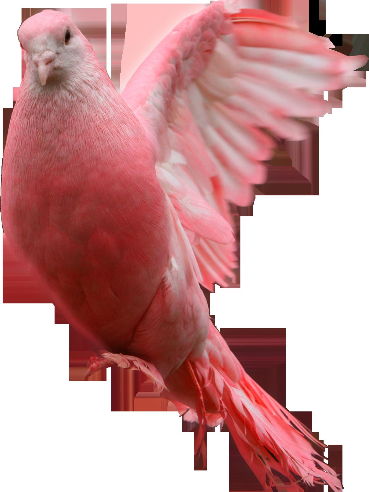 Pink pigeon PNG image