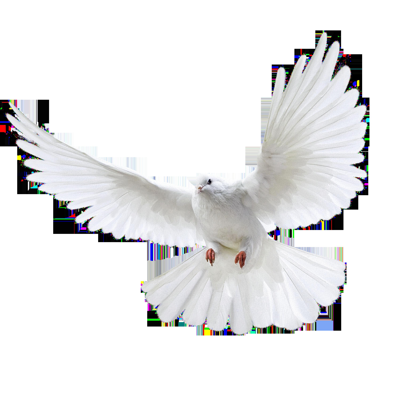 белый голубь PNG