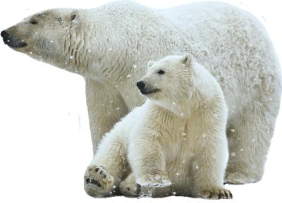 Полярный белый медведь PNG