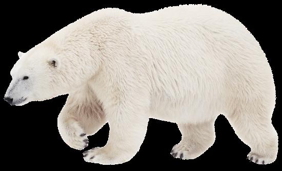 Медведь белый png