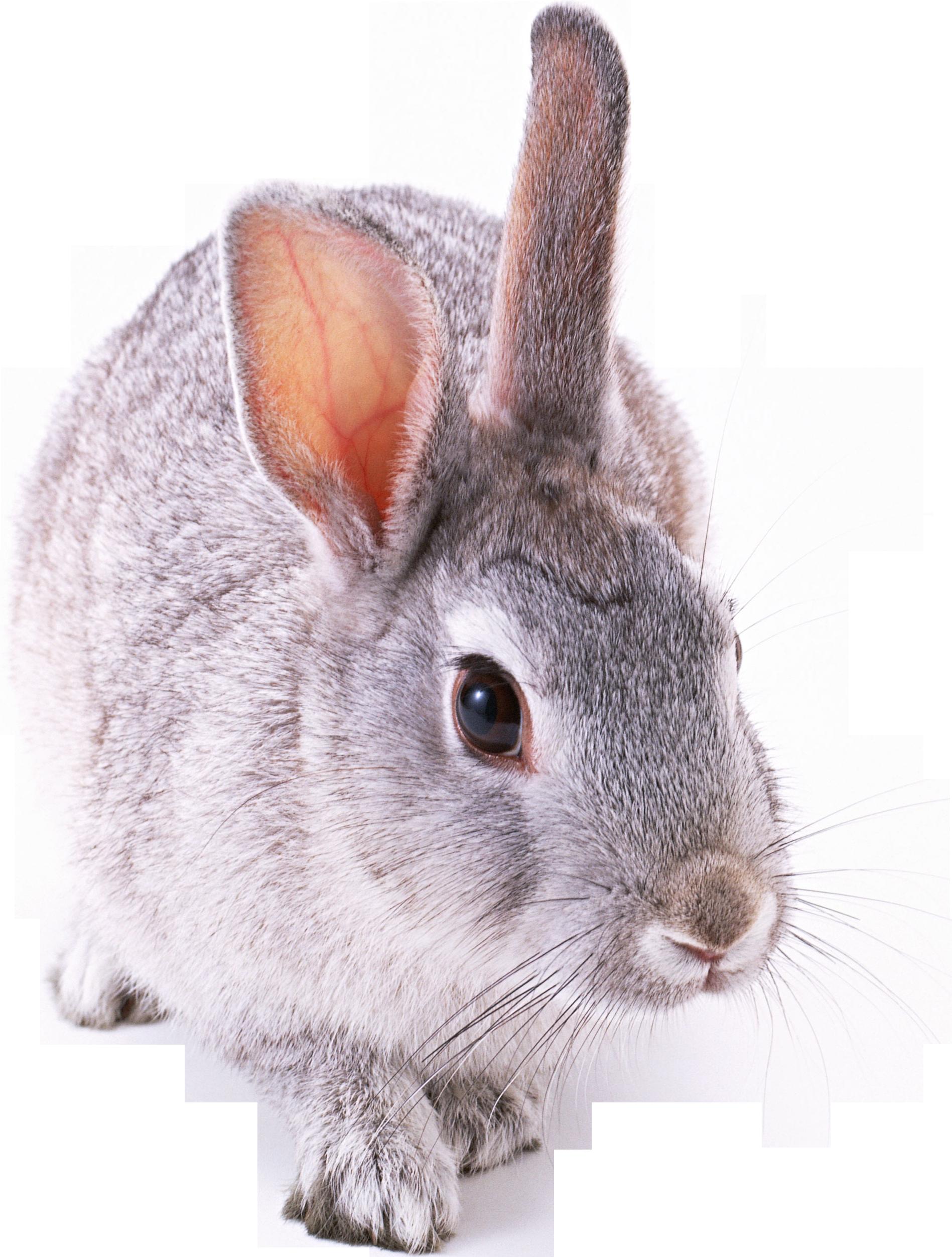 Заяц белый картинка