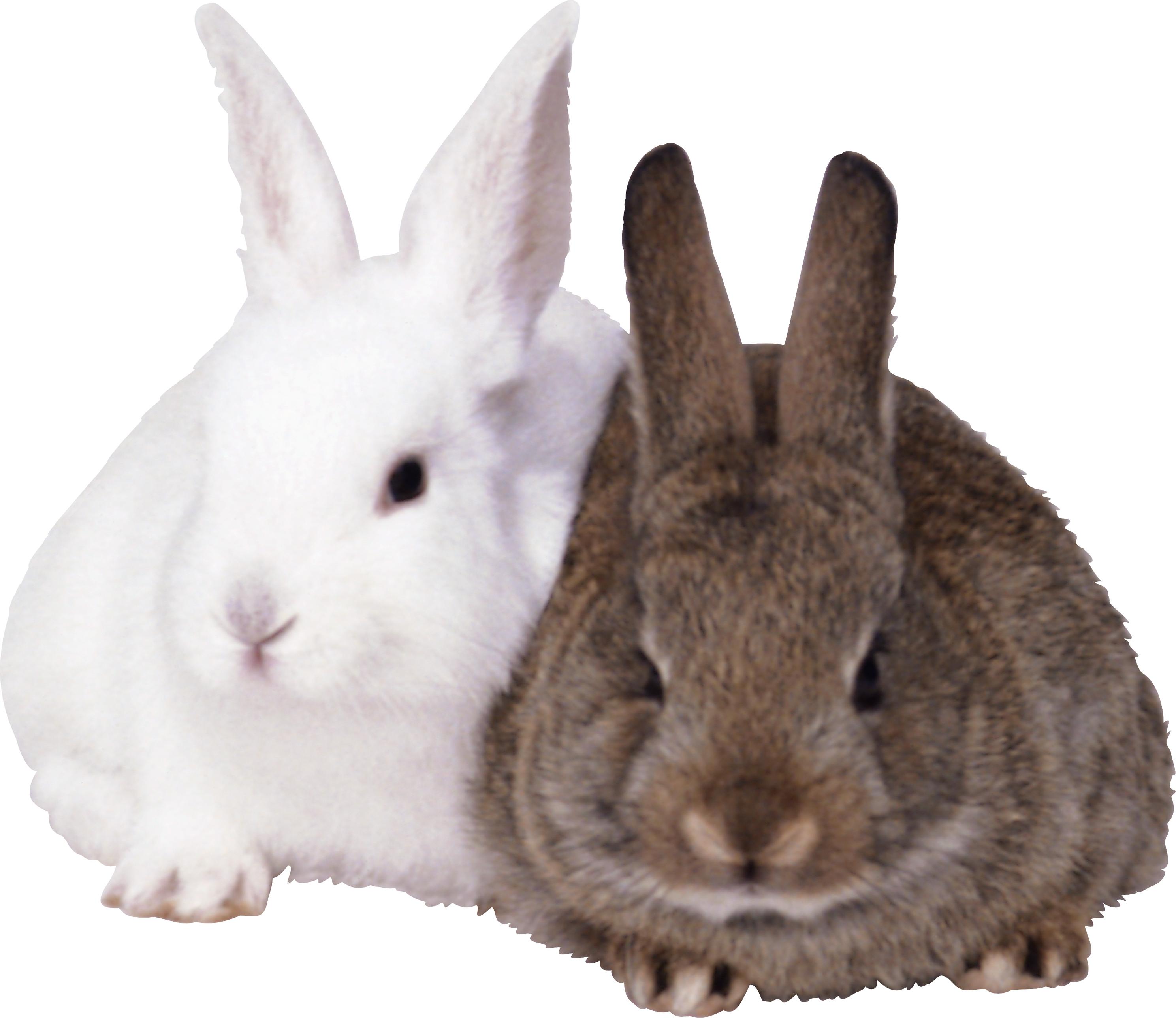 кролики PNG фото