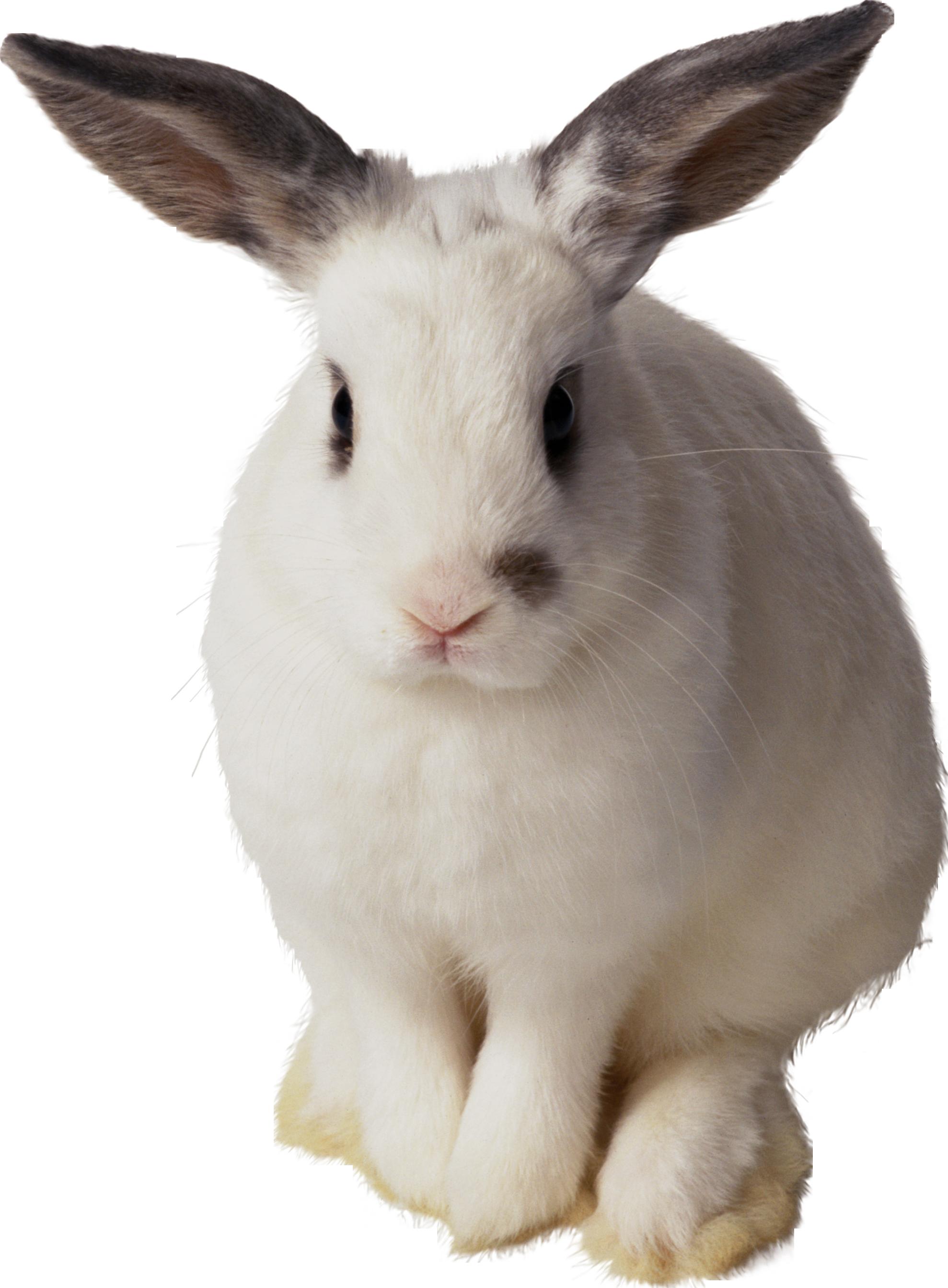 White rabbit PNG image