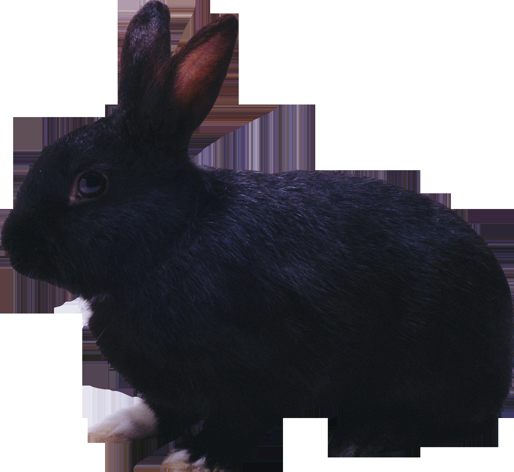черный кролик PNG фото