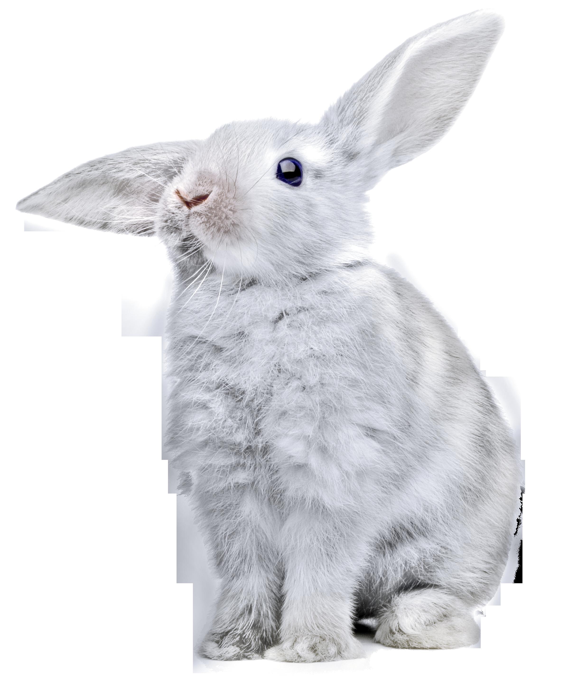 белый кролик PNG фото