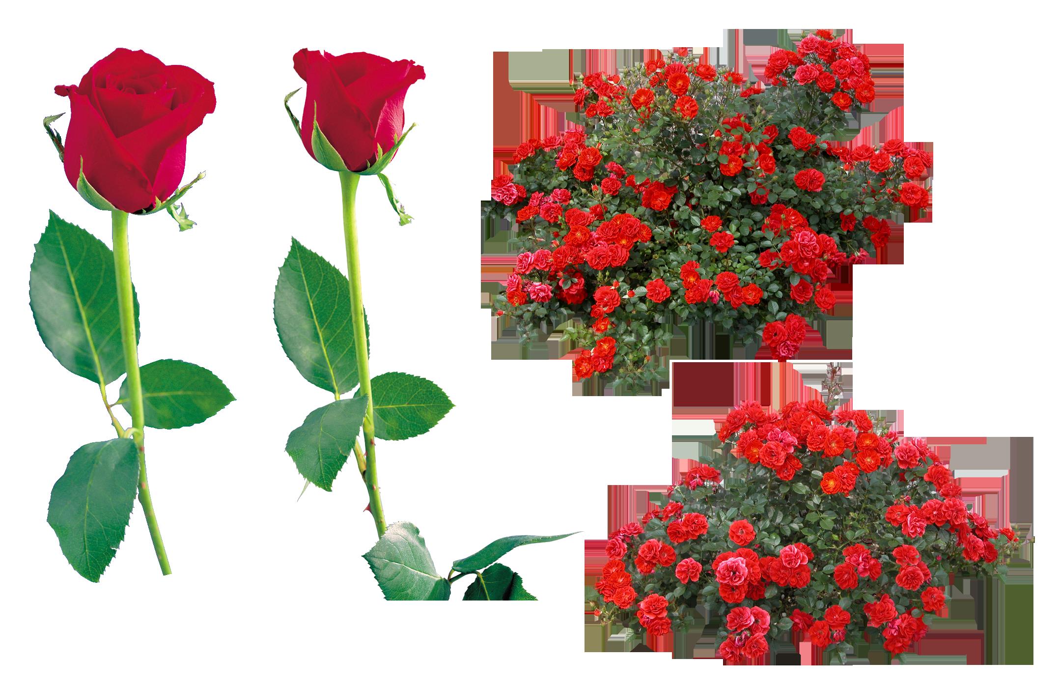 Розы цветы букет PNG фото
