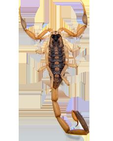 Scorpion PNG