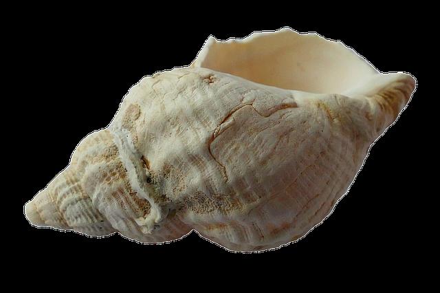 Морская раковина PNG