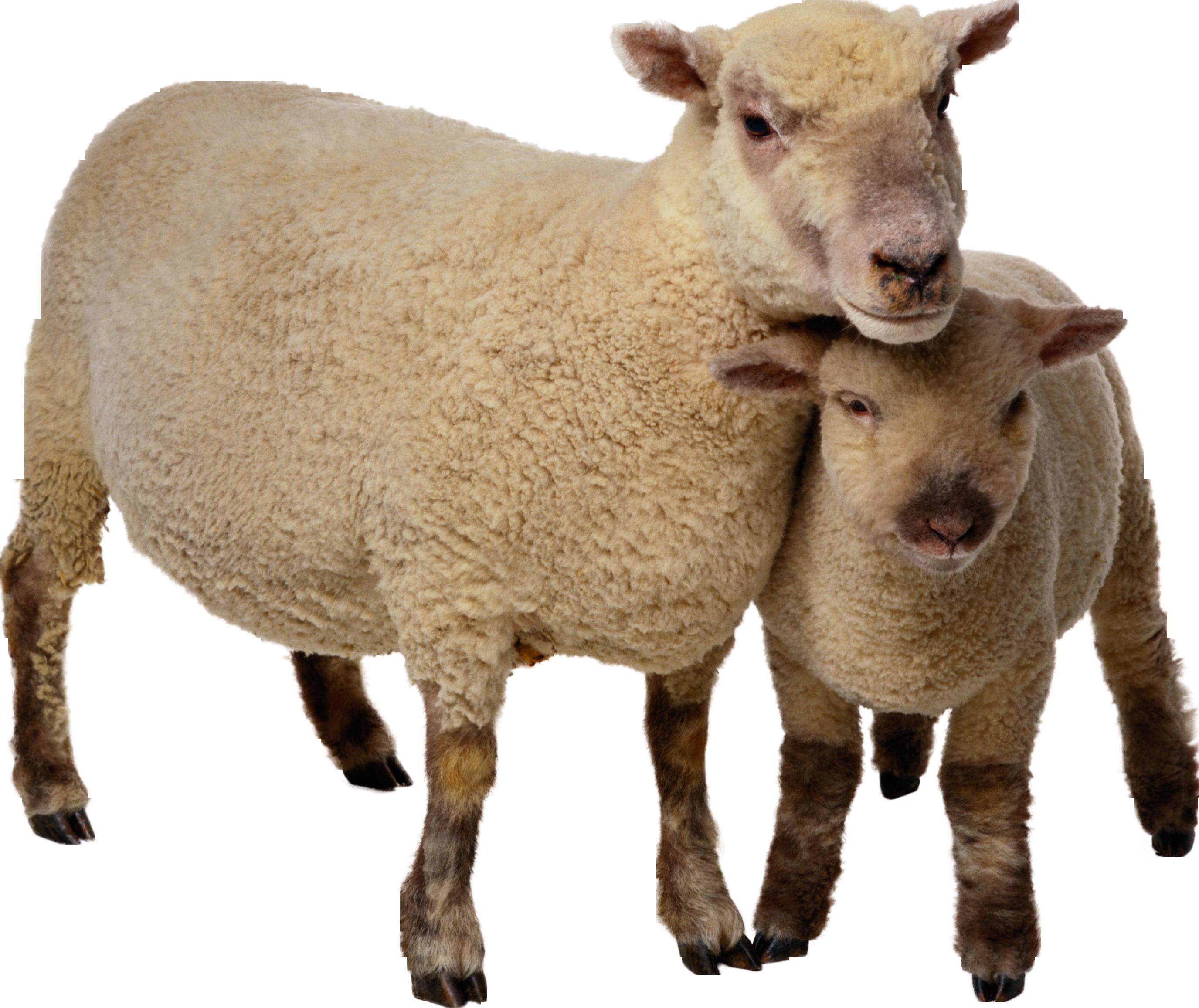 овцы PNG фото