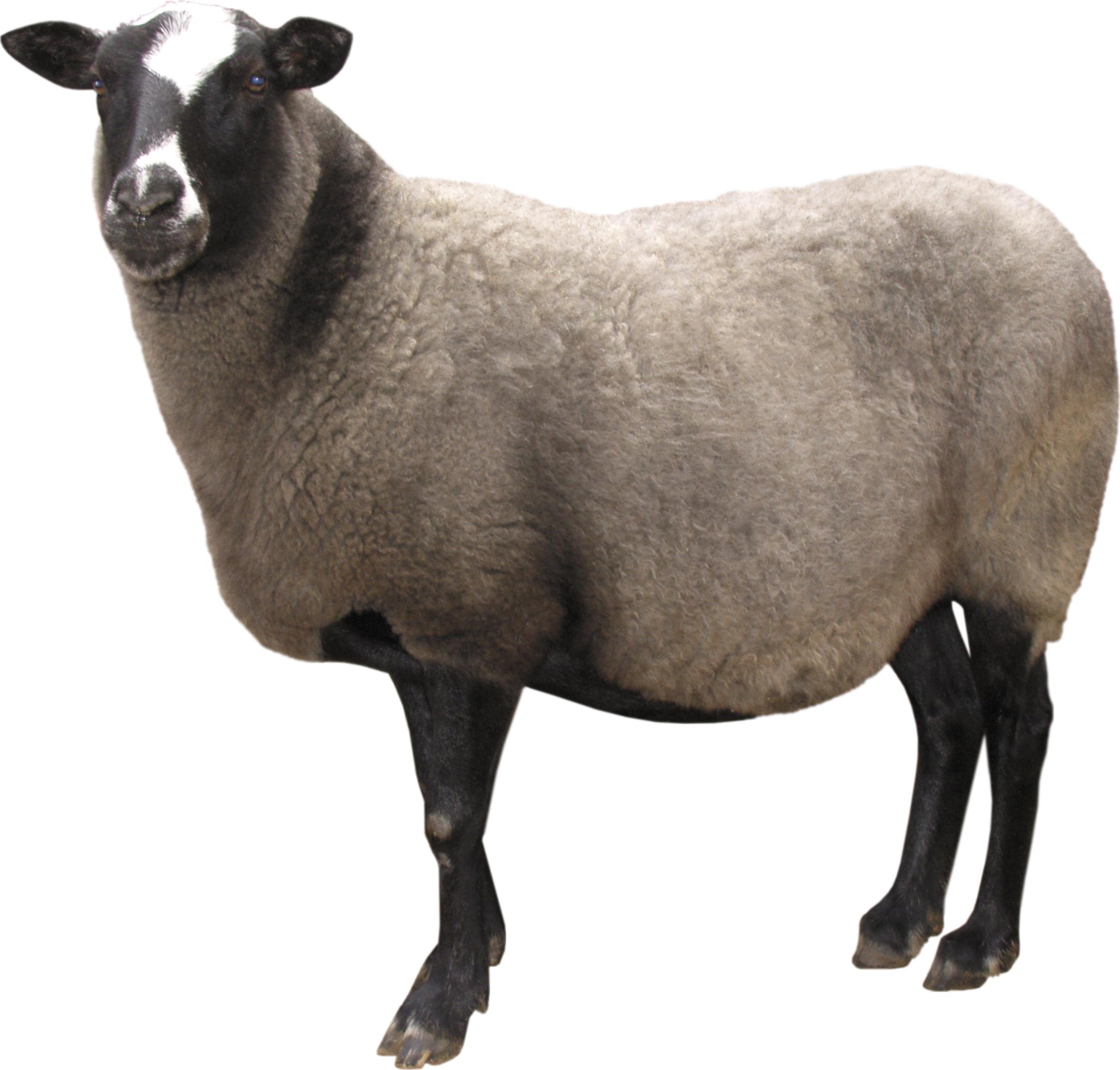 овца PNG фото