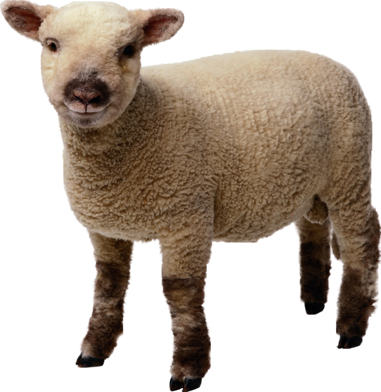 Овца картинки фото