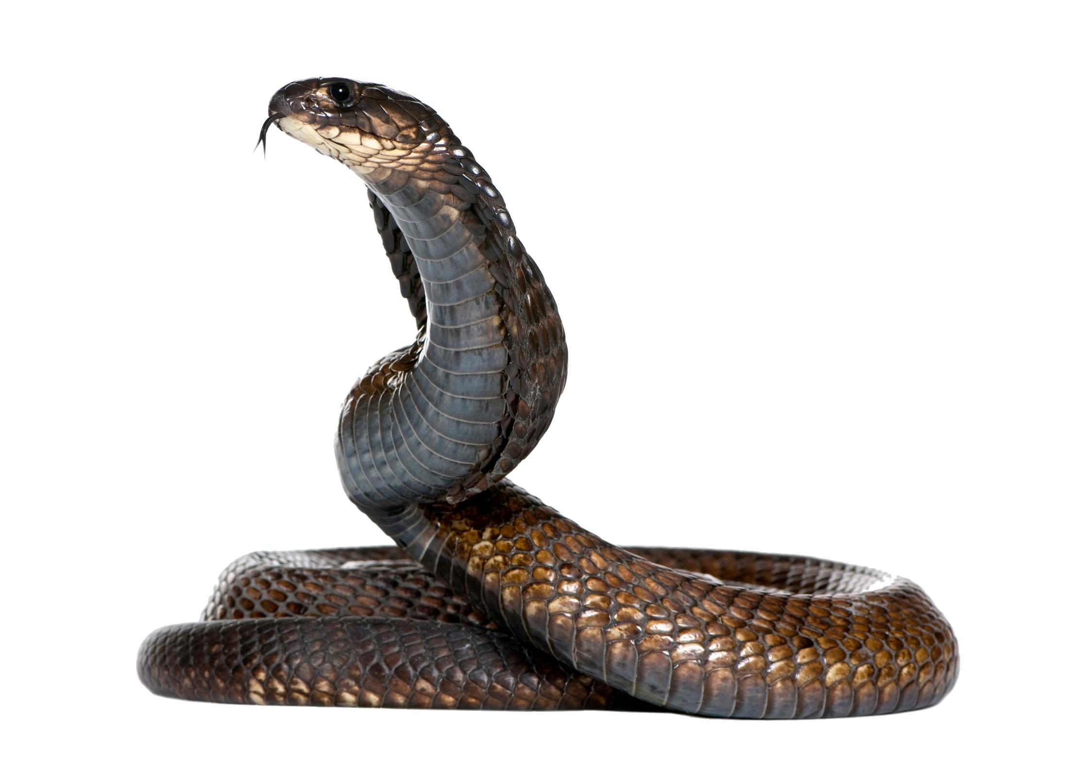 Змея PNG фото