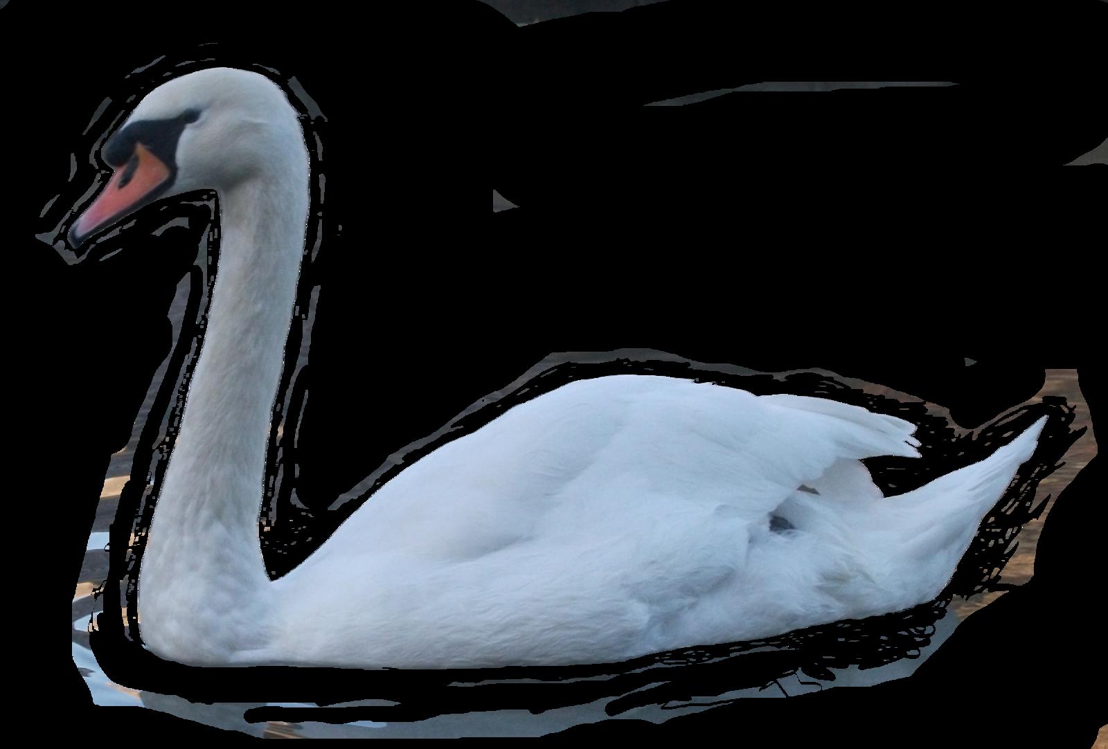 Белый лебедь PNG