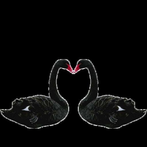 Черный лебедь PNG
