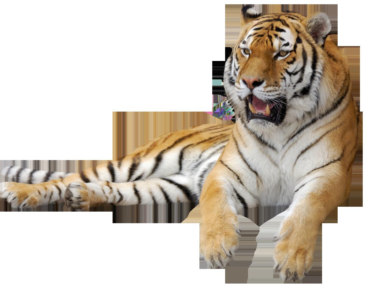 Тигр PNG