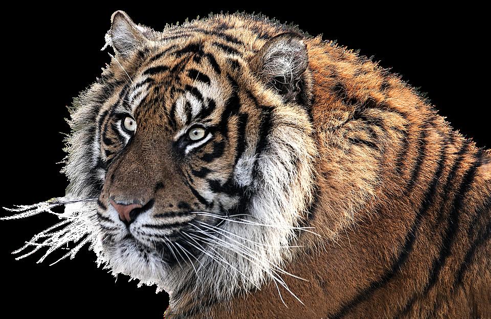 Tiger PNG image free Download