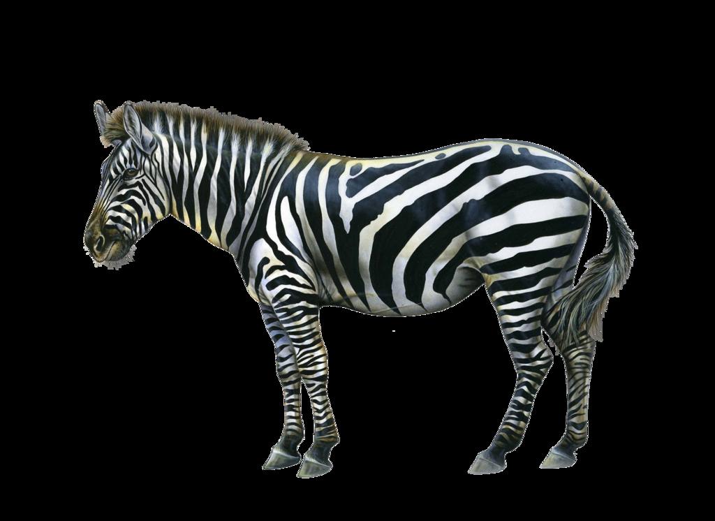 Zebra PNG images Download