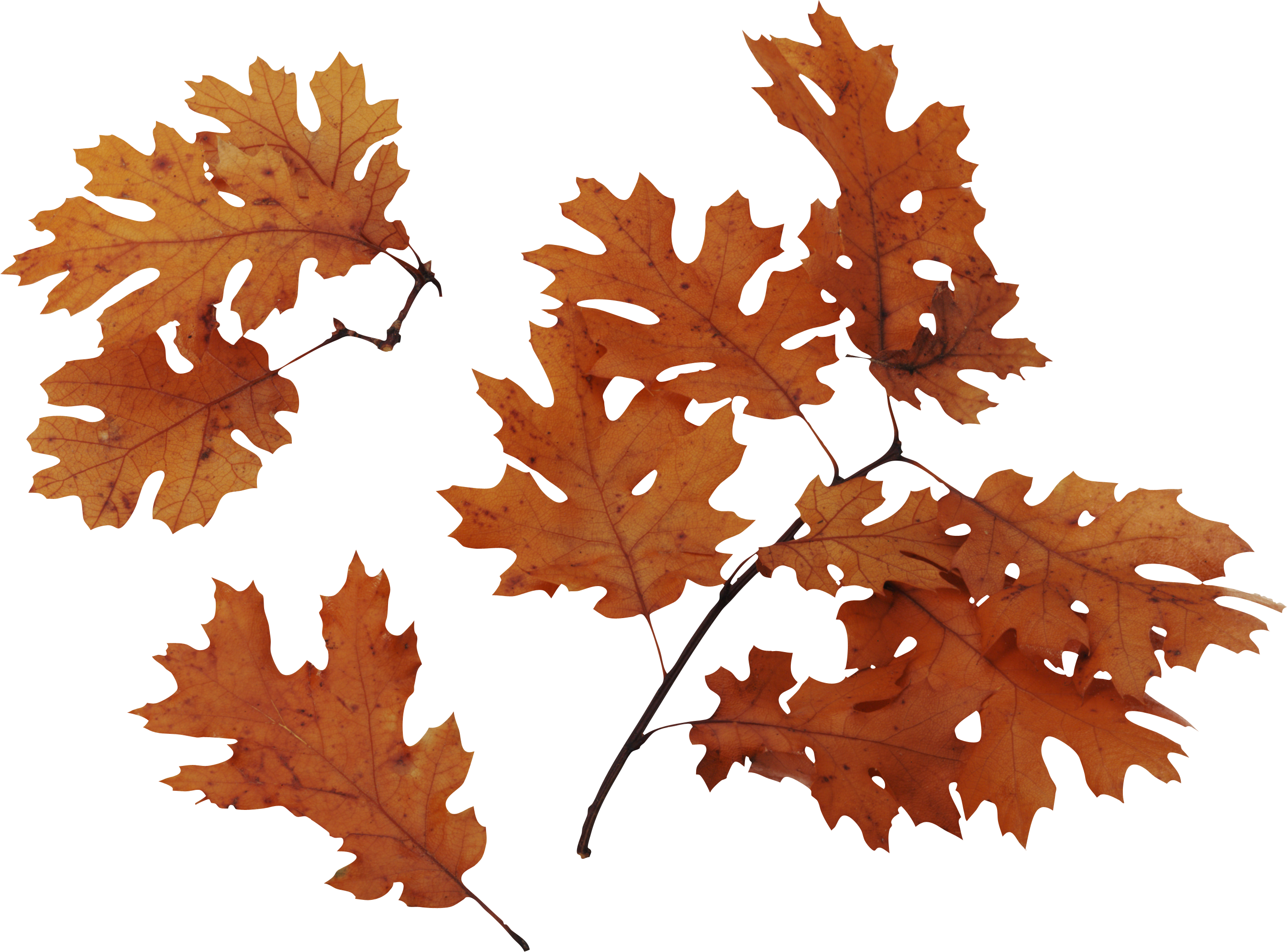 Autumn leaves PNG images, free PNG yellow leaves pictures