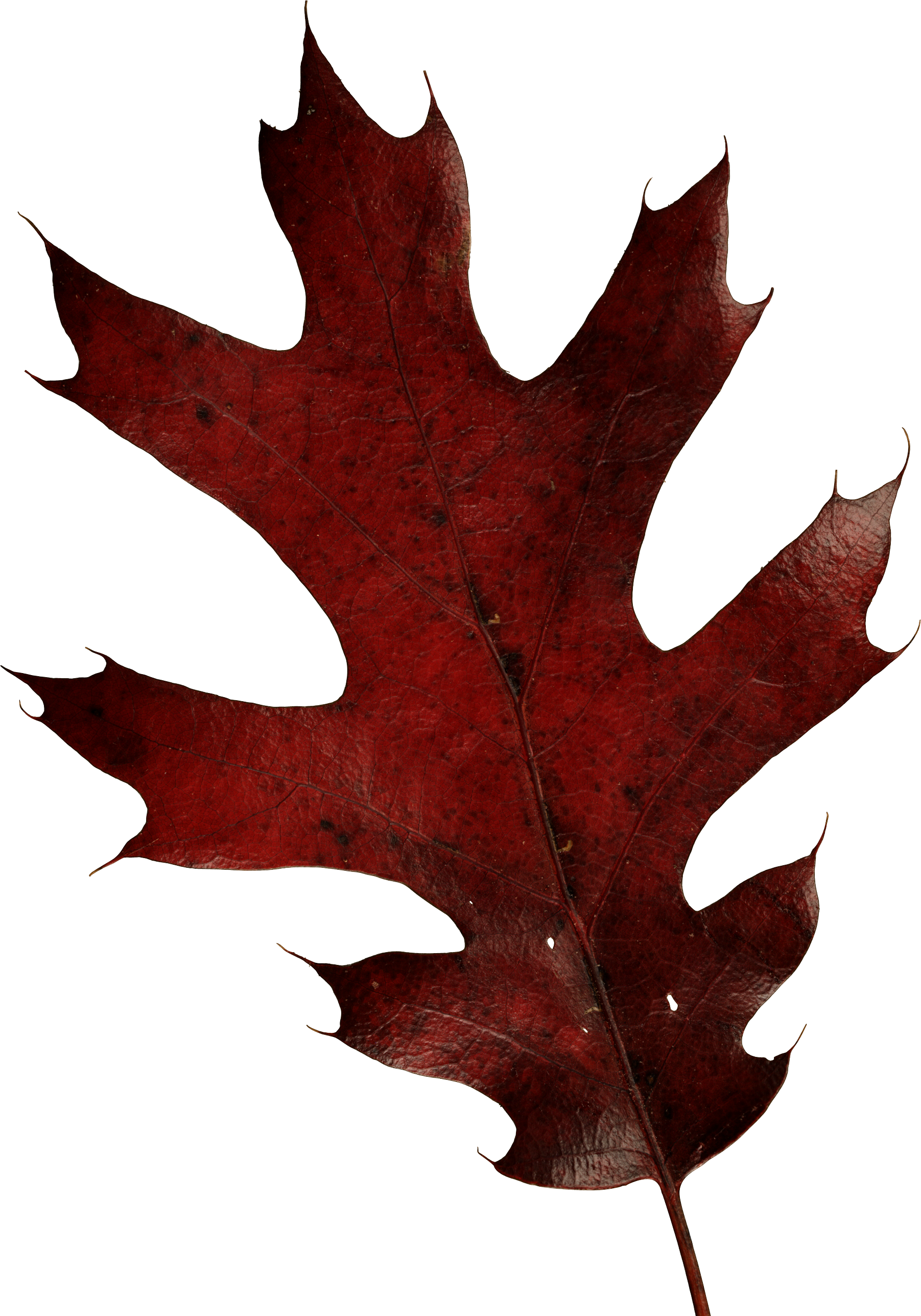 autumn PNG leaf