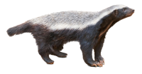 Badger PNG