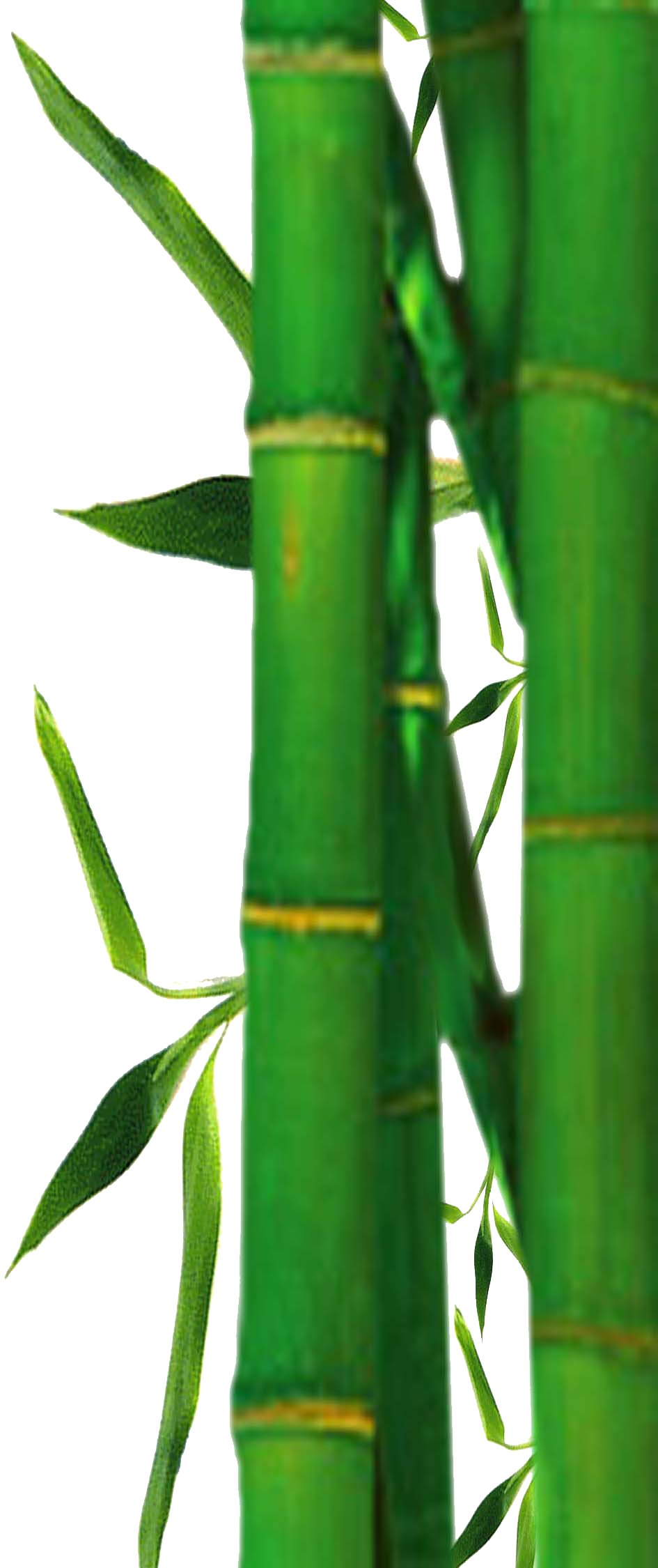 Bamboo PNG