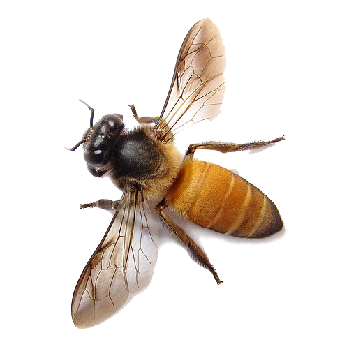 Bee PNG image