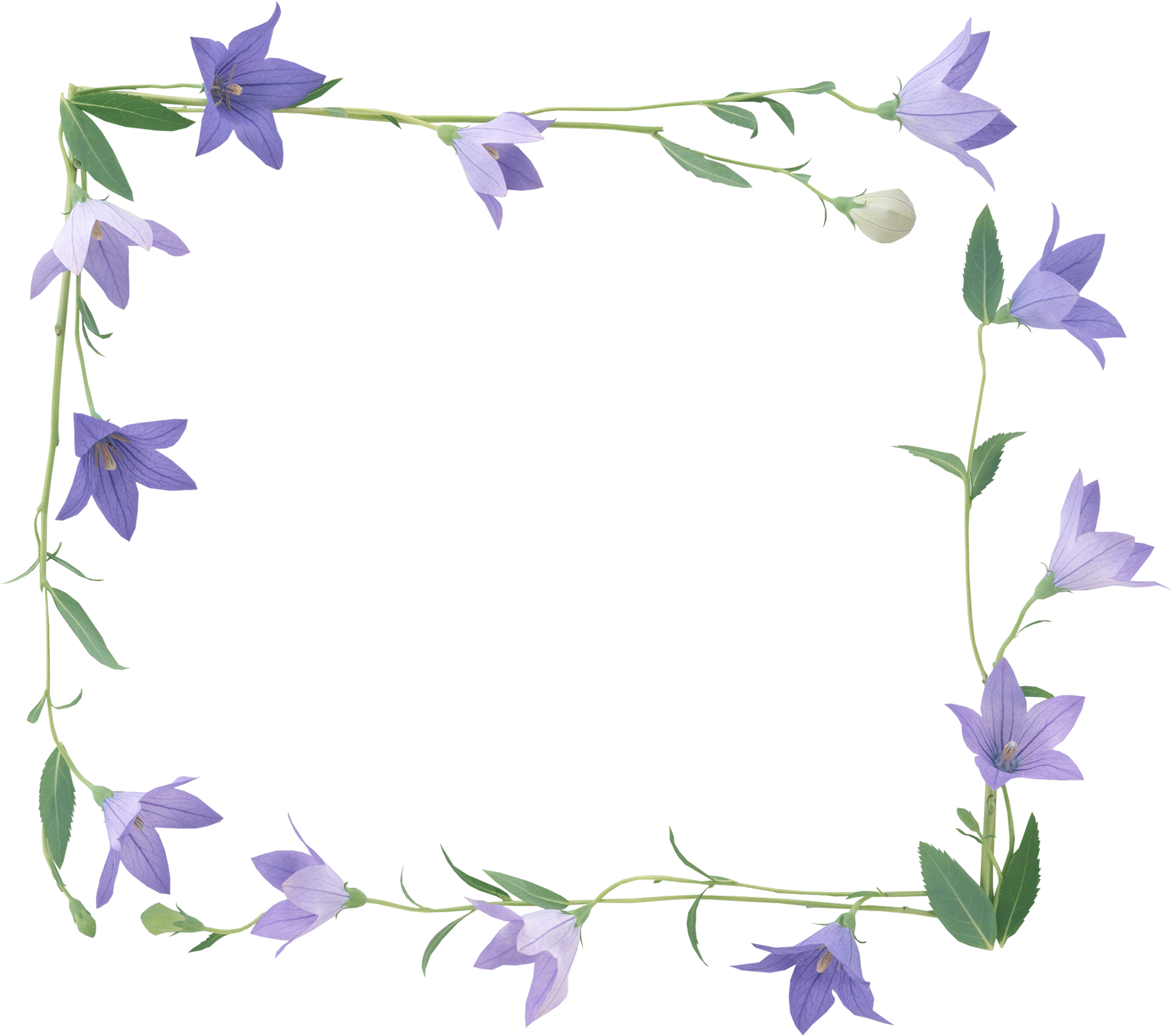 Bellflower PNG images