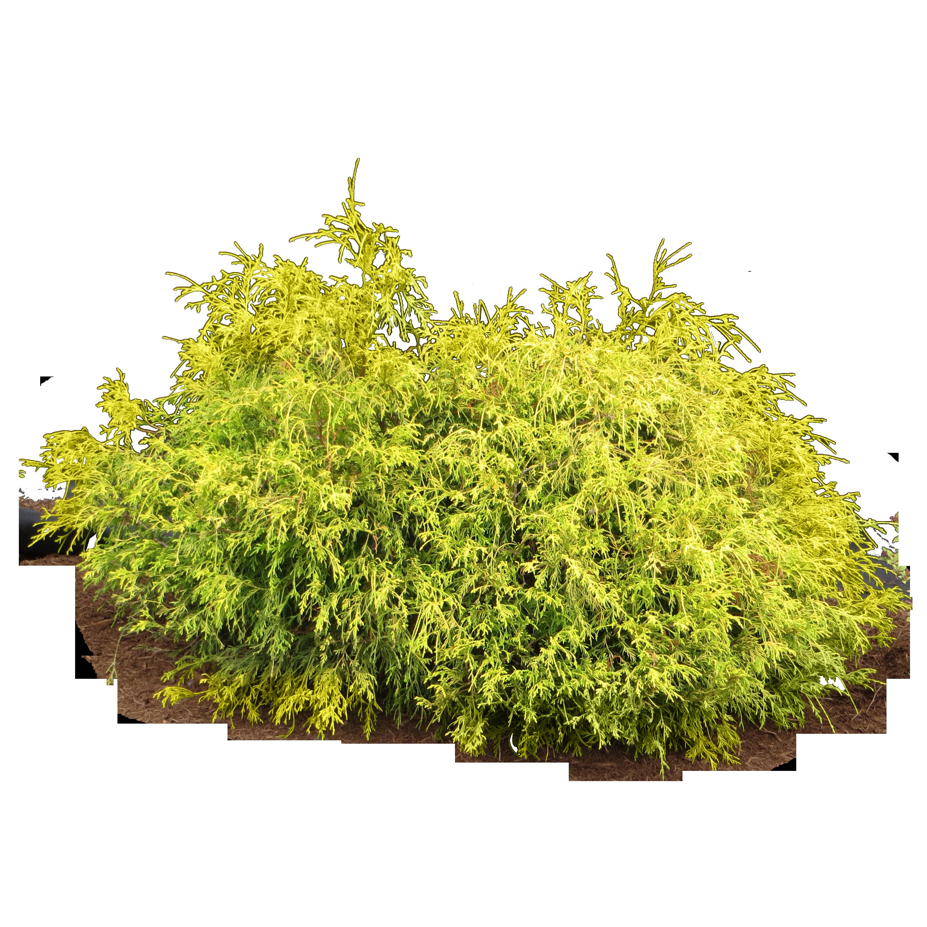 Bush plant PNG image