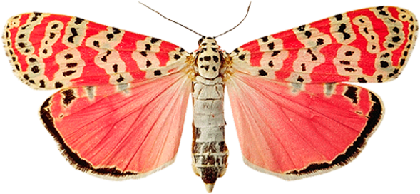 Pink butterfly PNG image, butterflies