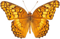 Orange butterfly PNG image, butterflies free download