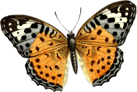 Butterfly PNG image