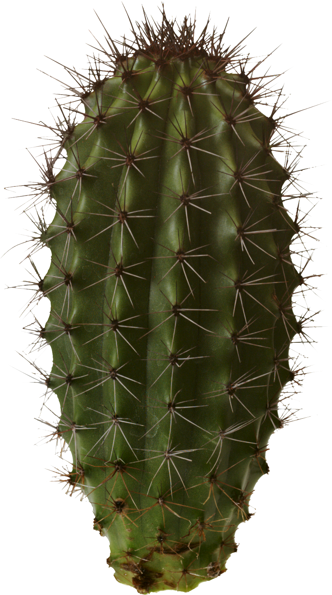 Cactus Plant Used In Mexican Food