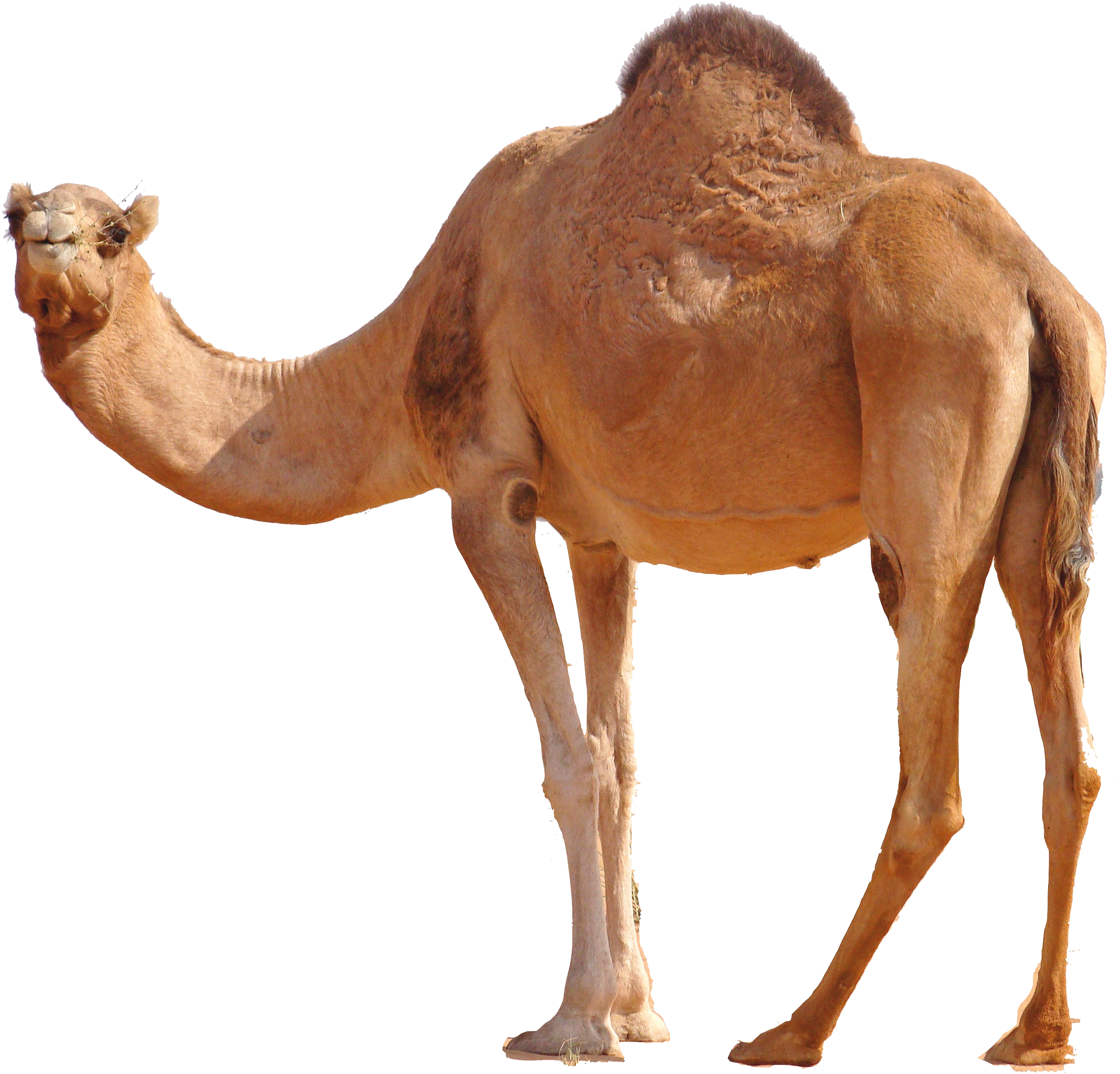 camel png image  free camel png pictures camel clipart patterns camel clipart black and white free