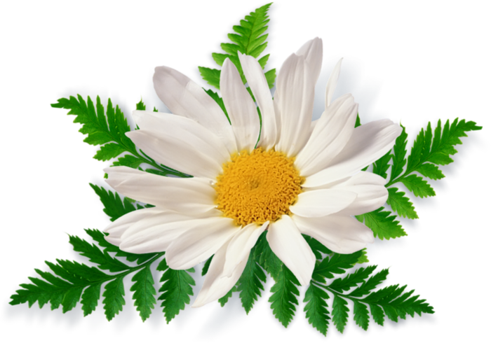Camomile PNG images