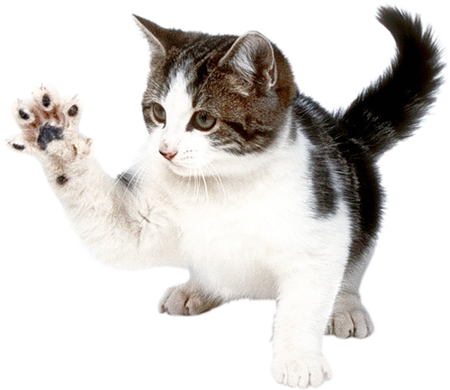 Cats Png Free Images Download