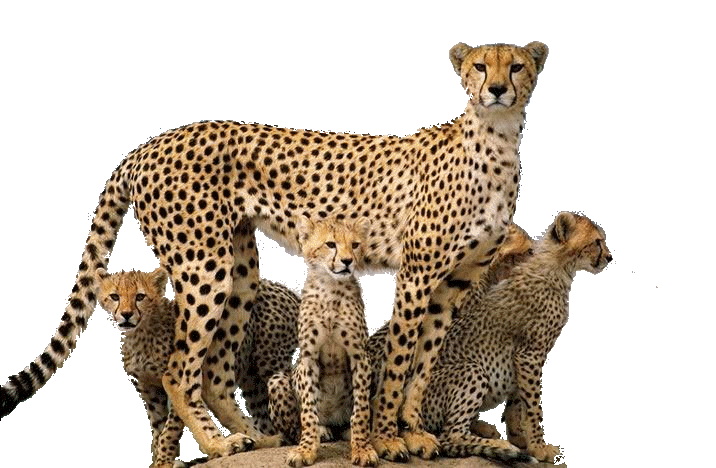 Cheetah PNG