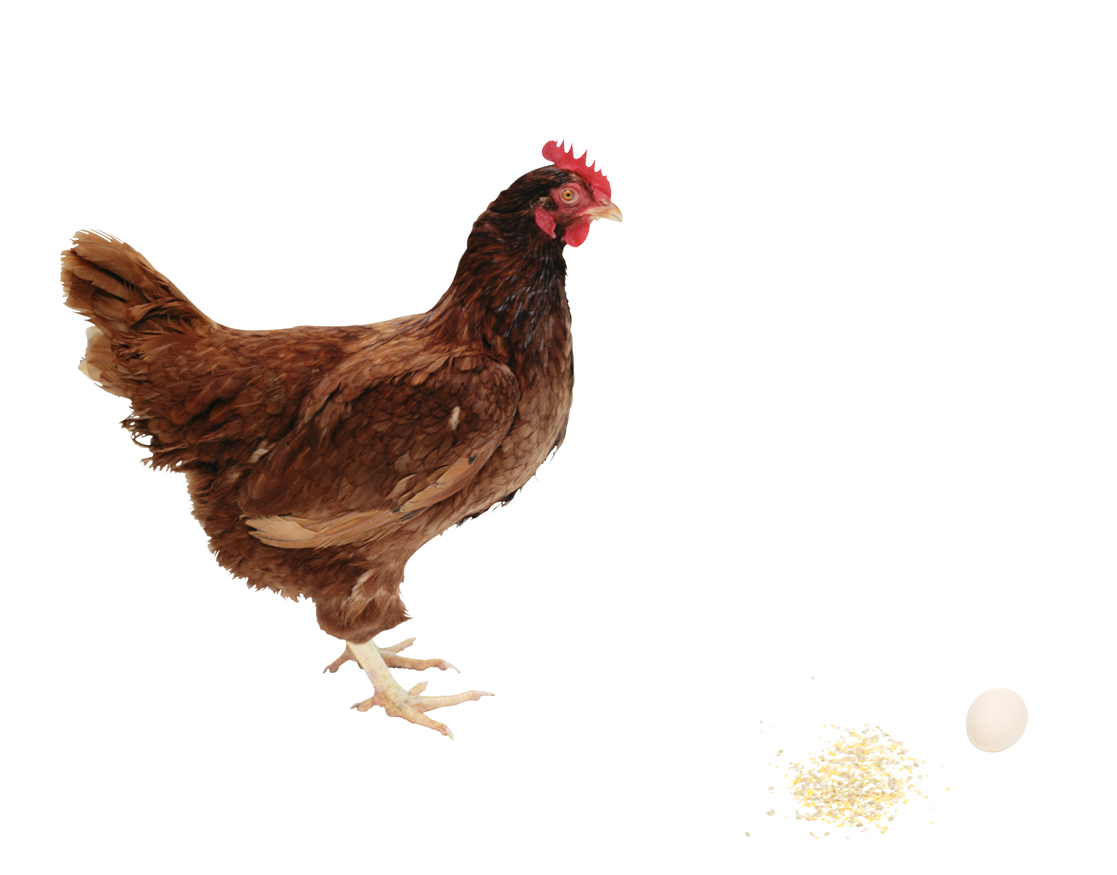 Chicken PNG image