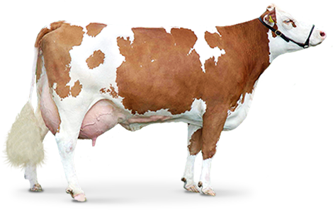 brown Cow PNG image