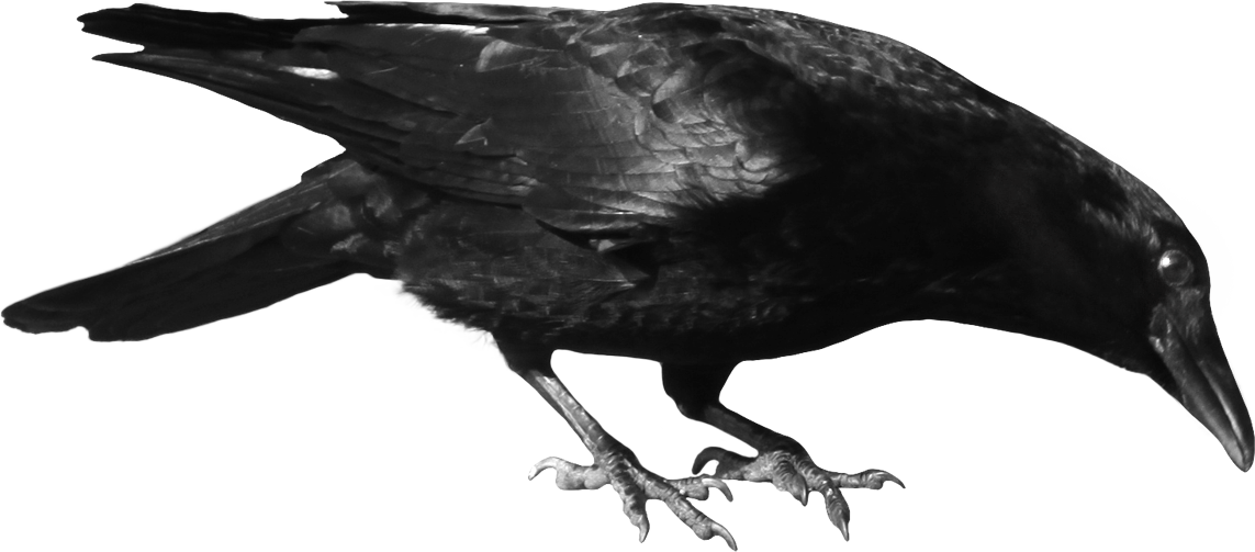 Crow PNG image