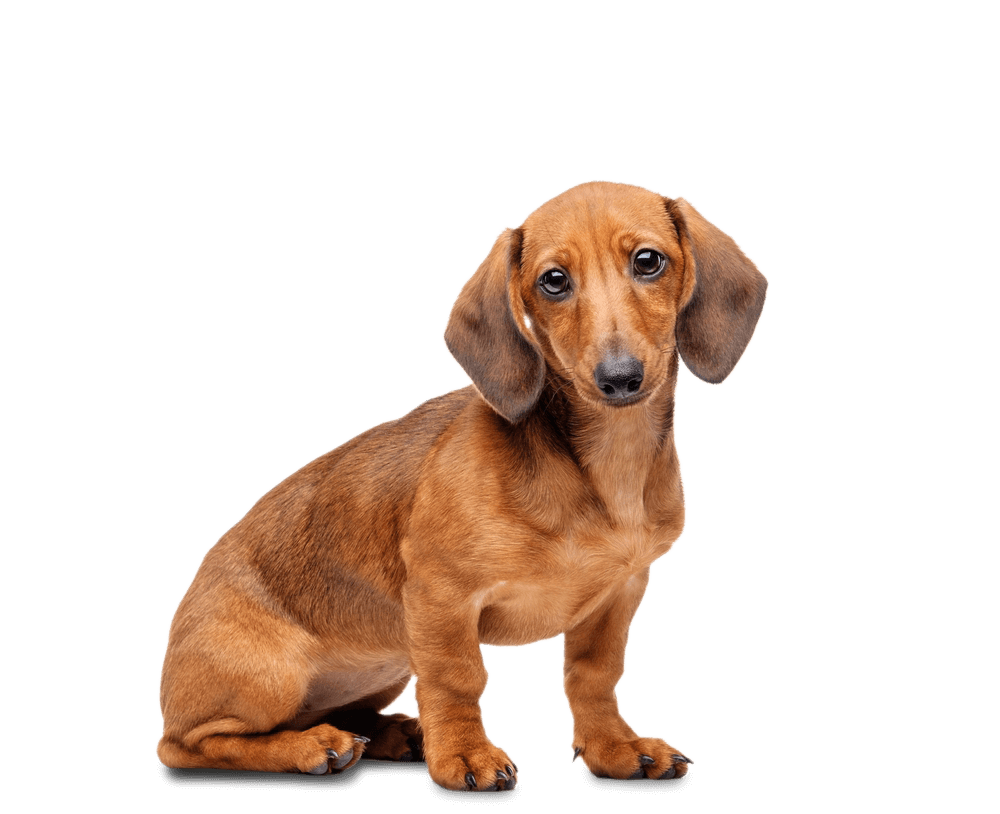 Image result for dachshund white background