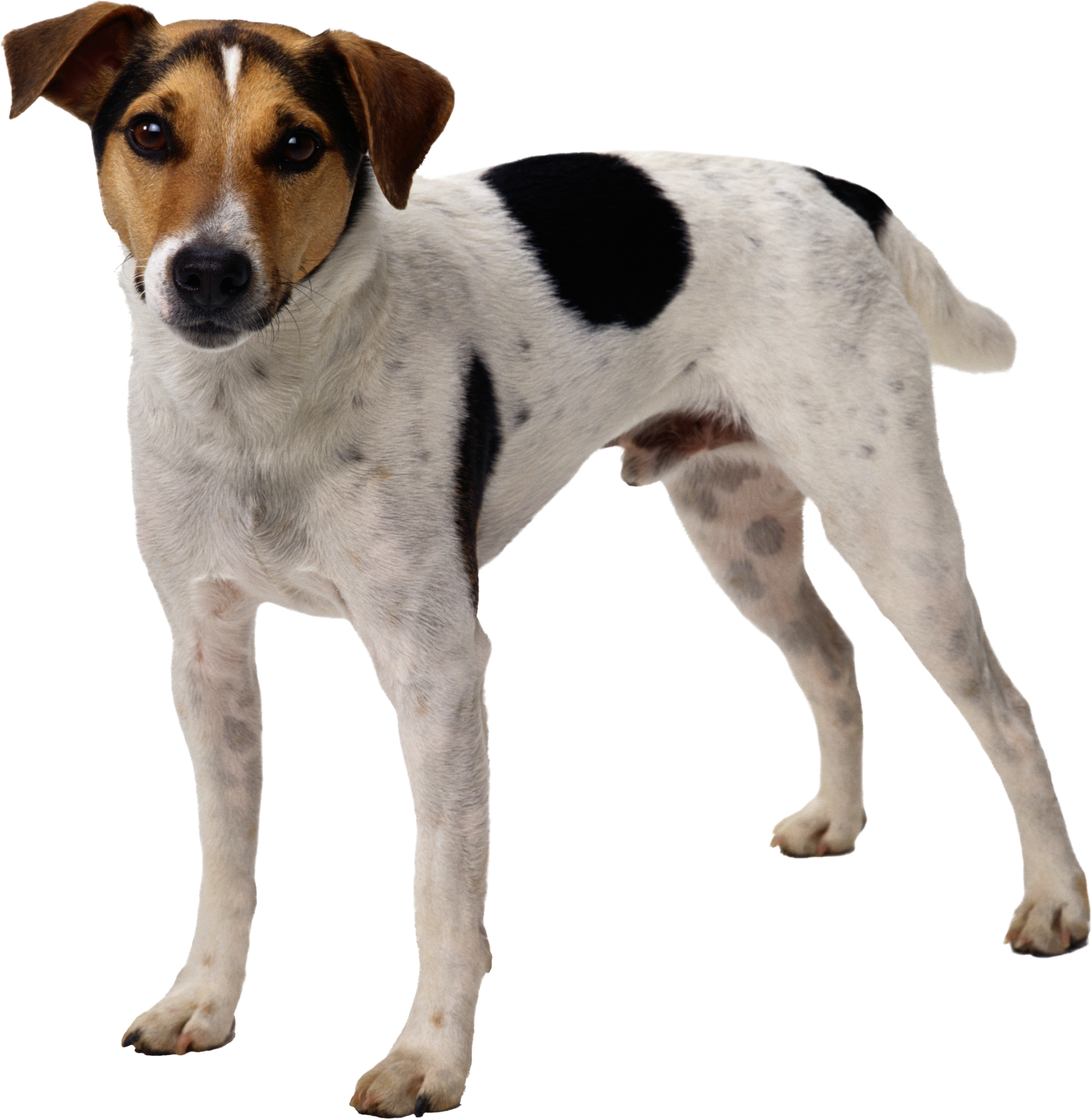 Dog png image, dogs, puppy pictures free download