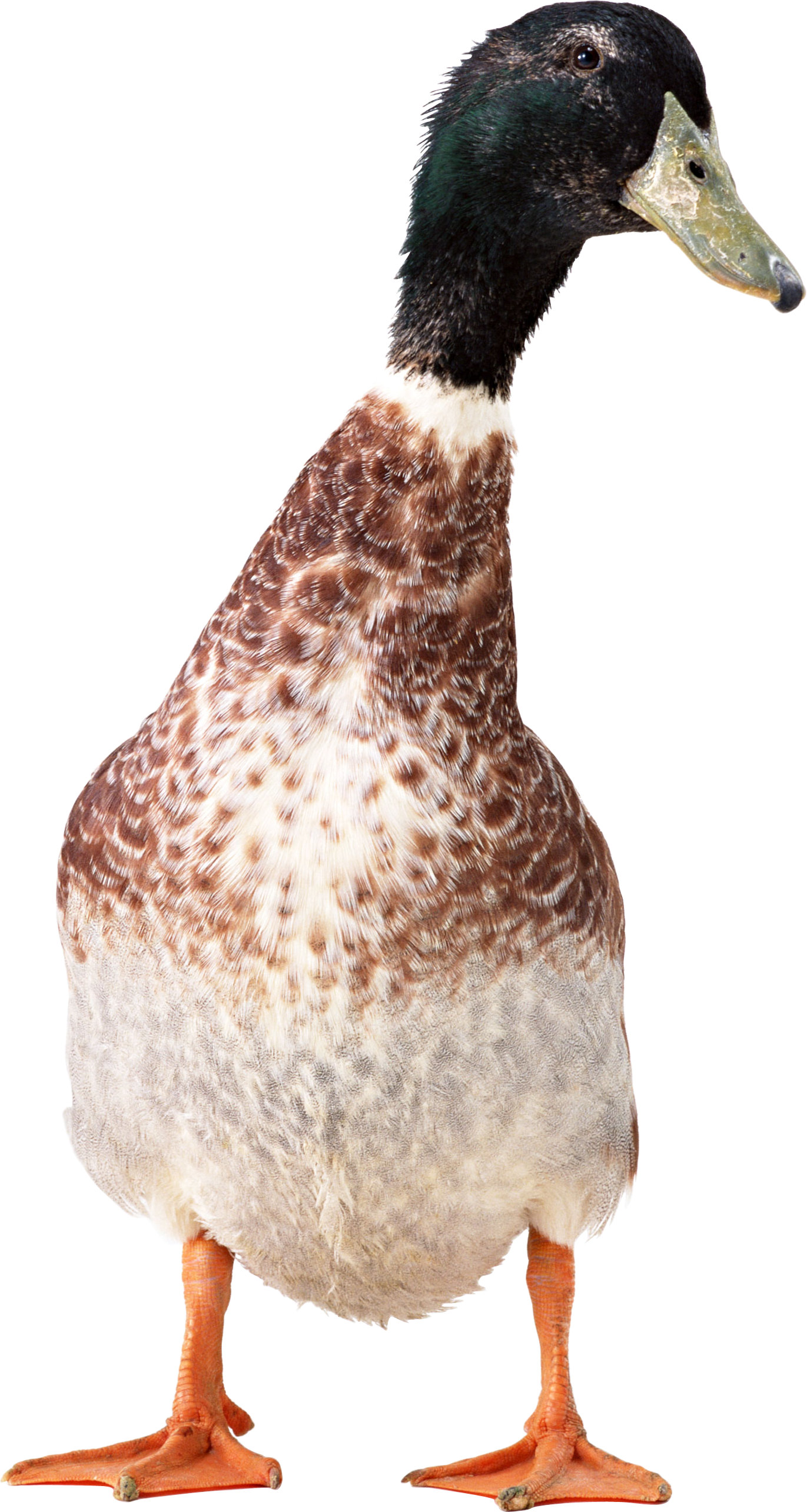 Duck PNG image free download
