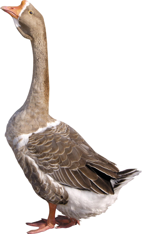 goose png image