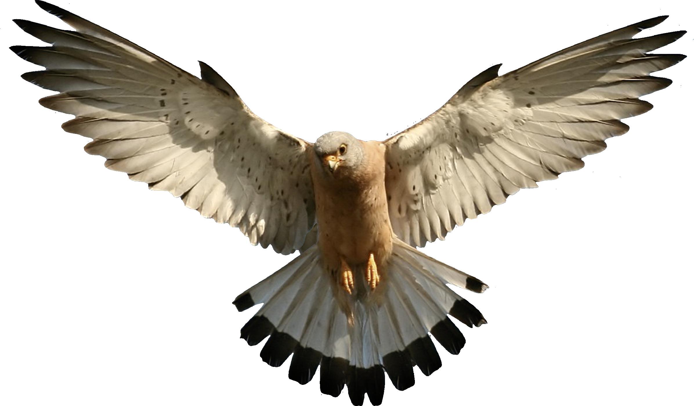 Eagle PNG image, free download