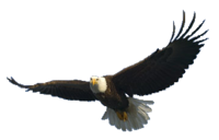 flying eagle PNG image, free download