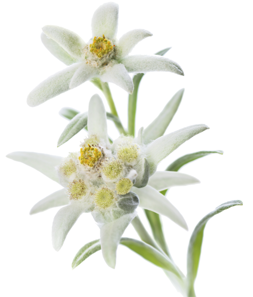 Edelweiss PNG
