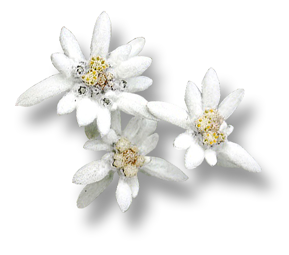 Edelweiss Flower PNG Images Free Download