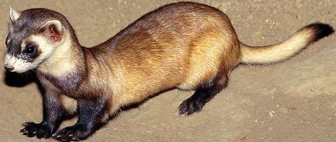 Ferret PNG