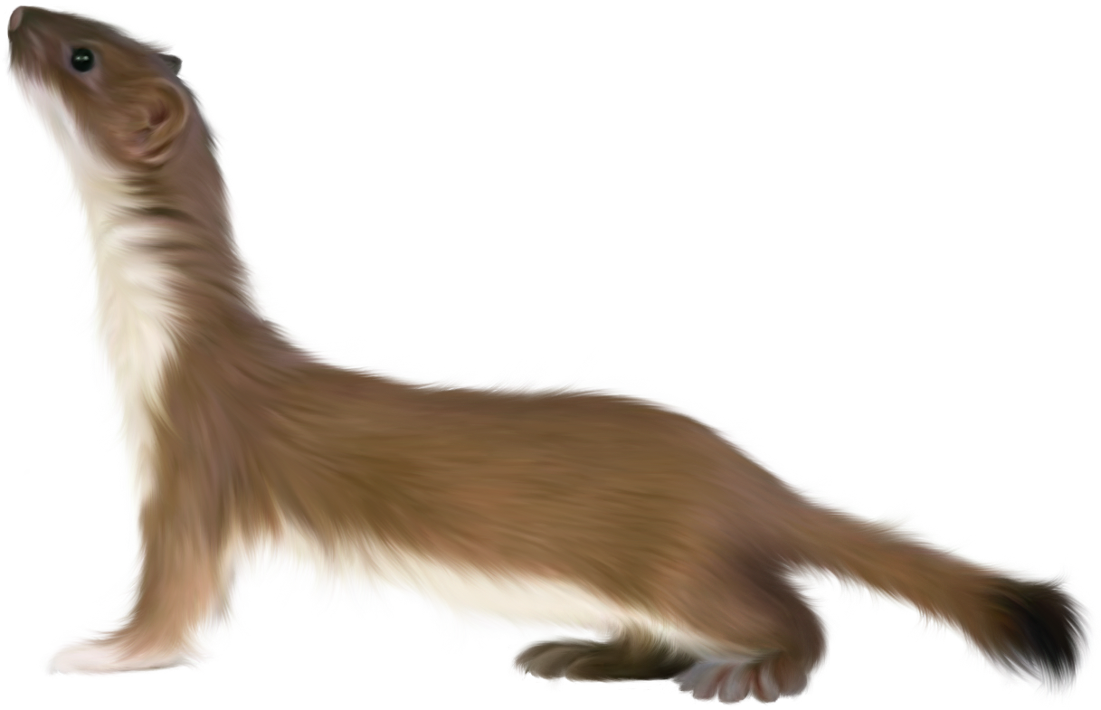Image Result For Can Ferrets And